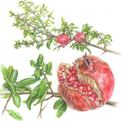 ザクロ ザクロ科ザクロ属、原産地イラン。落葉中木。 5~6月に日当たりの良い場所に植えつけます。